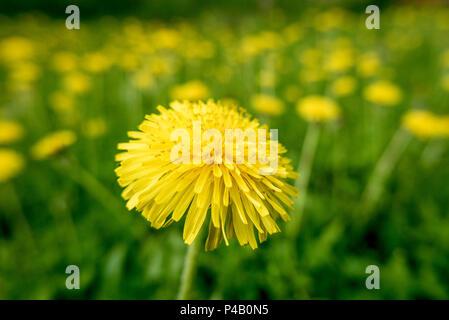 Bright yellow flowering dandelions, Dore Lake, Saskatchewan, Canada - Stock Image
