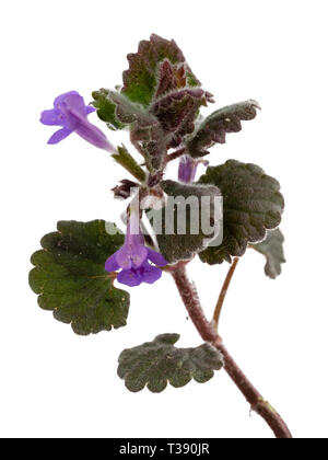 Creeping stems of the perennial UK wildflower, Glechoma hederacea, ground ivy, a frequent garden weed - Stock Image