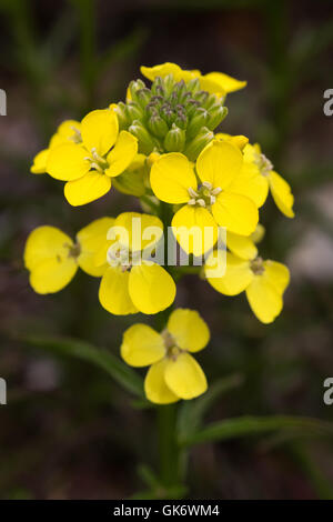 yellow crucifer flowers (Brassicaceae - Cabbage family) in Catalunya, Spain - Stock Image