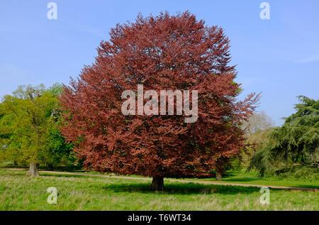copper beech tree, holkham, north norfolk, england - Stock Image
