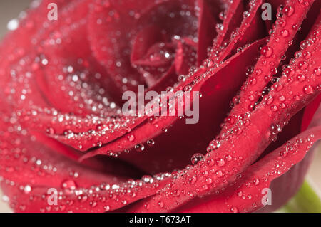 Red rose bud with water drops. Macro view - Stock Image