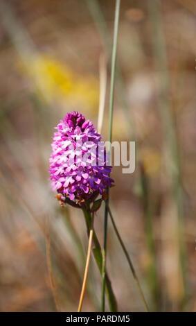 Pyramidal Orchid Anacamptis pyramidalis. - Stock Image