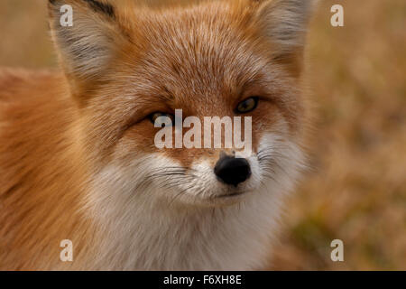 red fox Hokkaido Japan fall curious zorro zorra - Stock Image