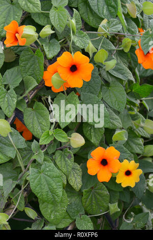 Close up of climbing vine flowering Thunbergia alta 'Sunny Sussy Red Orange' - Stock Image