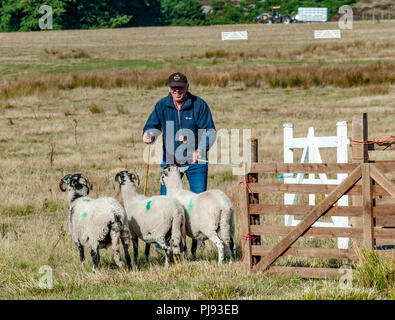 Longshaw Sheep Dog Trials, Peak District, Derbyshire, UK. The Longshaw Sheep Dog Trials are the oldest continuous run sheepdog trials in the country - Stock Image