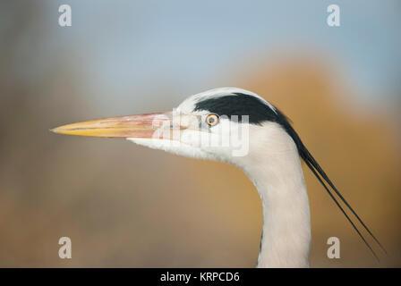 Grey Heron, (Ardea cinerea), Regents Park, London, United Kingdom - Stock Image
