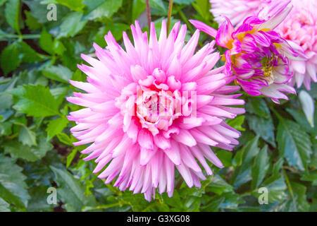 Pink Dahlia - Stock Image