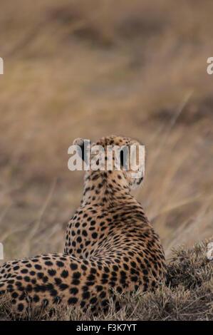 Rear view of a Cheetah, Acinonyx  jubatus, Lying down, Looking for prey, Masai Mara National Reserve, Kenya, Africa - Stock Image