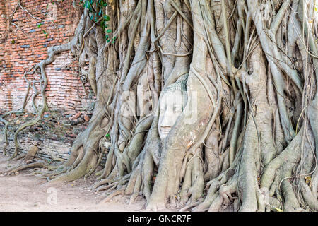 Head parts ruins of ancient buddha statue were covered up the roots of a banyan tree on the old wall at Wat Phra - Stock Image