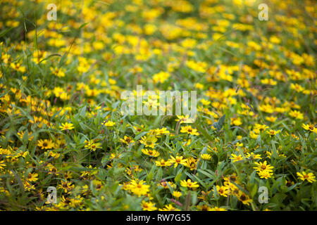 Field of Yellow Flowers - Stock Image