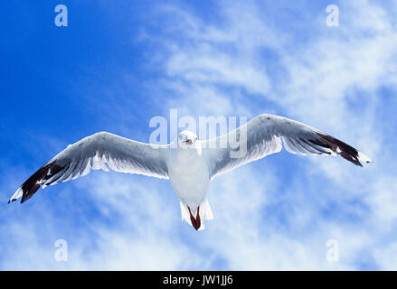 Silver Gull, (Chroicocephalus novaehollandiae), in flight, Byron Bay, New South Wales, Australia - Stock Image