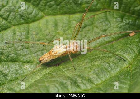Tetragnatha sp Spider resting on bramble leaf. Tipperary, Ireland - Stock Image
