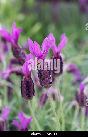 Lavandula stoechas 'Victoria' flower. French lavender flowers. - Stock Image