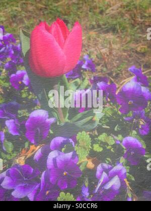 Deep pink tulip among a field of violets in Spring, with painterly texture overlay. - Stock Image