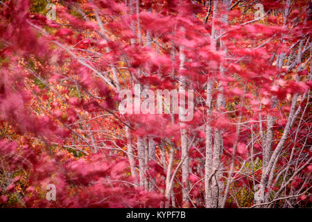 Windblown maple leaves in Acadia National Park in Maine - Stock Image