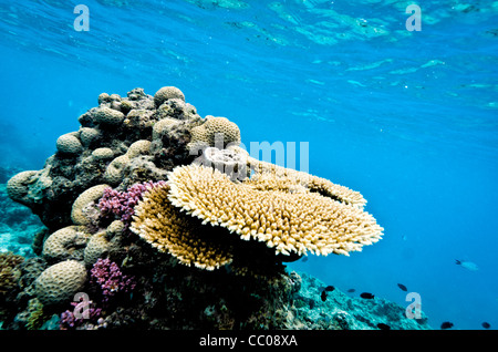 An underwater shot of some of the plate coral in shallow waters at Swains Reef on Australia's Great Barrier - Stock Image