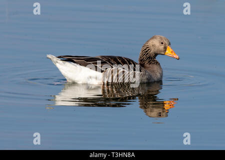 Greylag goose (anser anser) on still lake with reflection - Stock Image