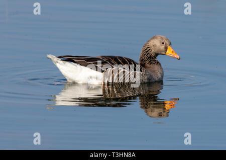 Greylag goose (anser anser) on still lake with reflection - Stock Image