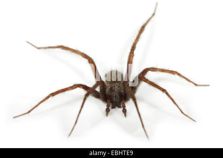 A male Common House-spider (Teganaria domestica), on a white background, part of the family Agelenidae - Funnel - Stock Image