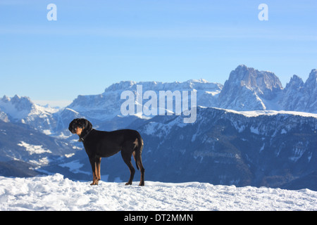 Dog in Dolomite Alps winter landscape - Stock Image