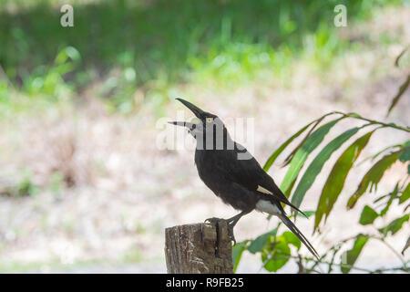 Pied Currawong (Strepera graculina) with food in beak, Lake Tinaroo, Atherton Tableland,  Far North Queensland, FNQ, QLD, Australia - Stock Image