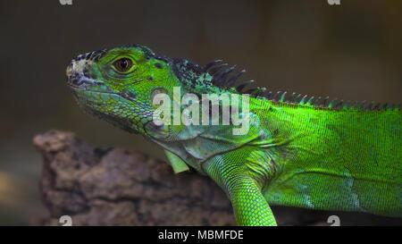 Iguana on a branch - Stock Image