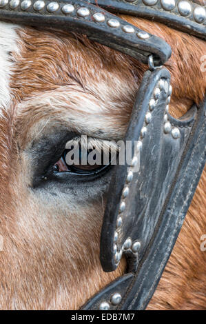Close-up of the eye and lashes of an old draft horse wearing a worn, studded, black leather bridle with blinker. - Stock Image