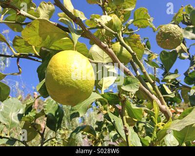 Lemon tree with lemon fruits - Stock Image