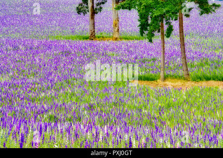 Mixed larkspur flower field. Near Silver Falls State Park, Oregon - Stock Image