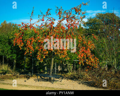 A Crab Apple tree with a seat fitted around its trunk in autumn covered in bright red apples in Helmsley Walled Garden - Stock Image