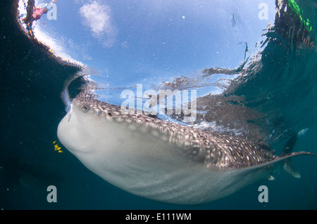 Whale shark swimming at the surface, Cenderawasih Bay, New Guinea, Indonesia (Rhincodon typus) - Stock Image