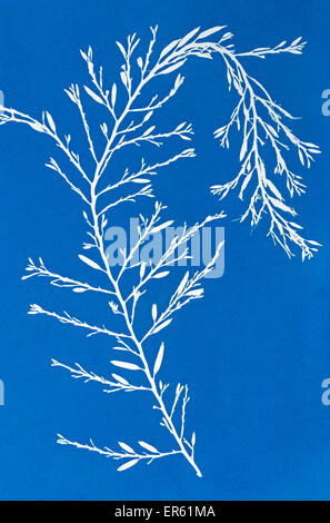 Cyanotype blueprint of seaweed Gives a white negative image on a blue background Process invented by Sir John Herschel - Stock Image