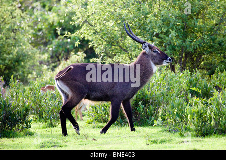 Male waterbuck, Kobus ellipsiprymnus, in Mole National Park, Ghana. - Stock Image