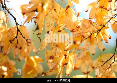 autumn gold leaves - regeneration Jane Ann Butler Photography  JABP1830 - Stock Image