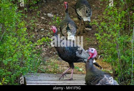 wild turkeys - Stock Image