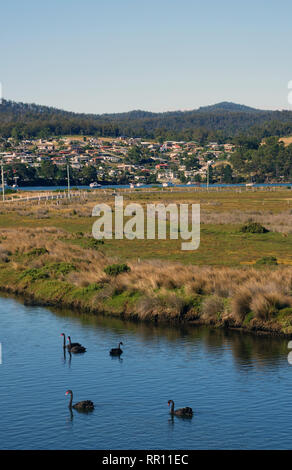 Black swans at St Helens, Tasmania, Australia. No PR - Stock Image