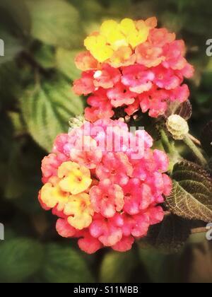 Red yellow lantana flowers - Stock Image