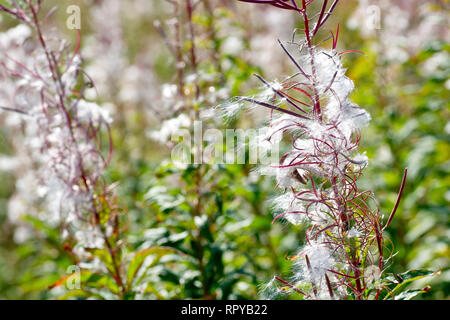 Rosebay Willowherb (epilobium angustifolium, also chamerion or chamaenerion angustifolium), a backlit close up of the plant in seed. - Stock Image