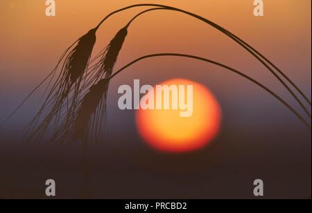 Black bearded wheat with sunrise. Near Monroe, Oregon. - Stock Image
