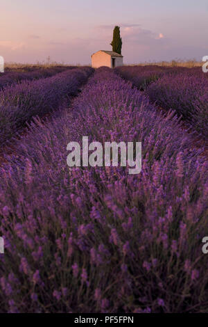 an old stone house in the middle of a lavender field in Provence, France - Stock Image