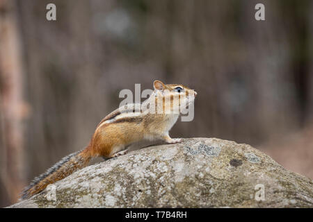 MAYNOOTH, ONTARIO, CANADA - April 30, 2019: A chipmunk (Tamias), part of the Sciuridae family forages for food.  ( Ryan Carter ) - Stock Image