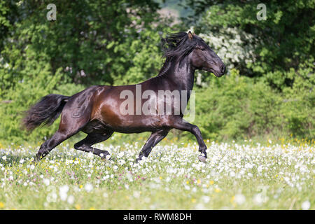 Lusitano. Juvenile black stallion trotting on a pasture in spring. Switzerland - Stock Image