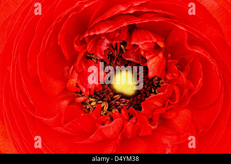 A macro capture of an elegant, red ranunculus blossom. - Stock Image