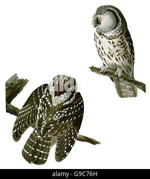 Boreal Owl, Aegolius funereus, birds, 1827 - 1838 - Stock Image