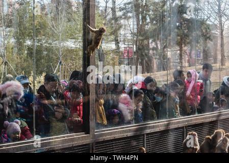 Macaca mulatta monkeys in Beijing Zoo in Beijing, China - Stock Image
