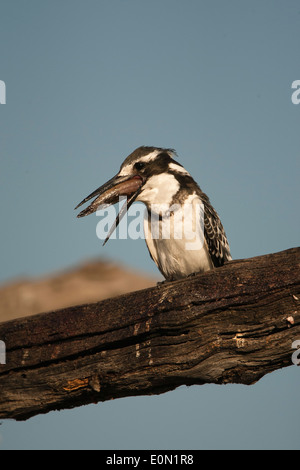 Pied Kingfisher eating fish on branch, Moremi Game Reserve, Botswana, Africa (Ceryle rudis;) - Stock Image