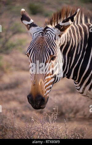 Head shot portrait of a cape mountain zebra (Equus zebra zebra) in dry arid landscape - Stock Image