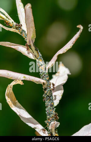 Ants feeding on sugar honeydew from plant stem produced by green aphids - Stock Image