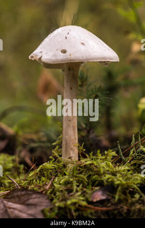 Amanita virosa shot from parallel level in horizontal - Stock Image