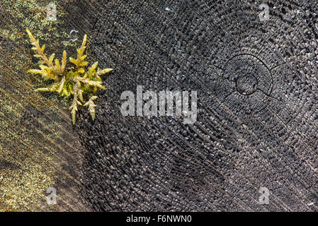 Tree stump details and moss - Stock Image